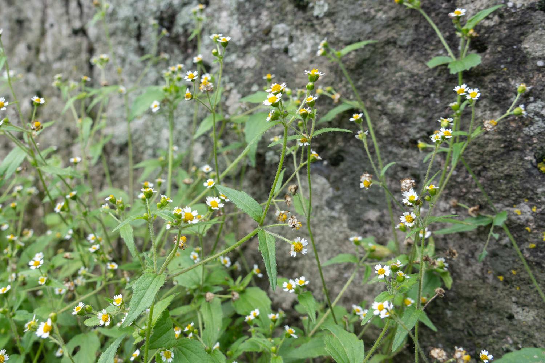 缩小版向日葵——牛膝菊