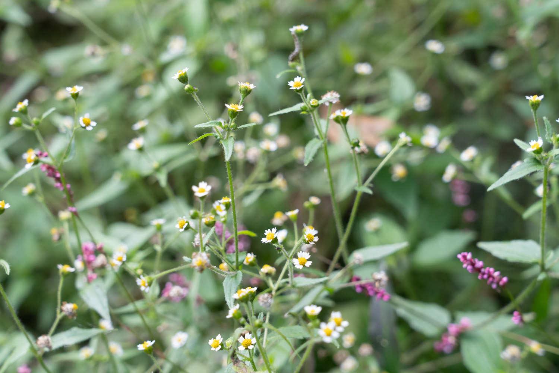杂草从中的牛膝菊