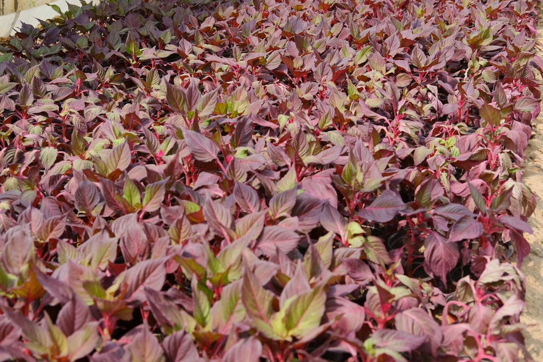 color leaf grass