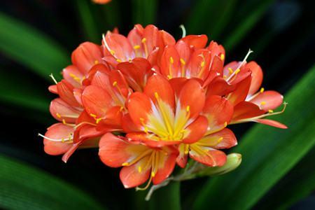 君子兰开花有什么兆头