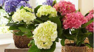 盆栽八仙花换盆及修剪方法