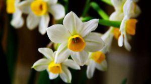 水仙花适合在室内种植吗