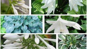 玉簪花有哪些品种