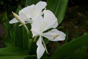 姜花的花语象征及代表意义是什么