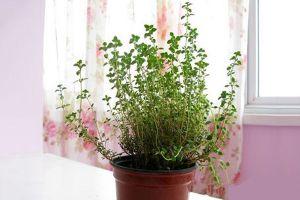 百里香的栽培方法