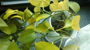 绿萝叶子发黄的原因及解决方法