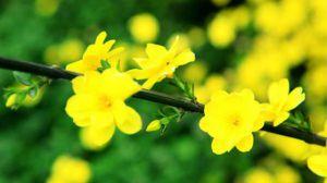 迎春花怎么移植