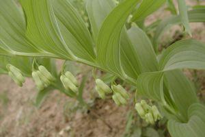 玉竹有哪些不同的品种