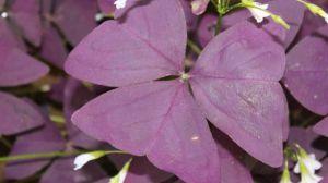 酢浆草怎样养护可以安全越冬