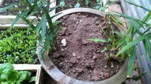 阳台怎样种生姜