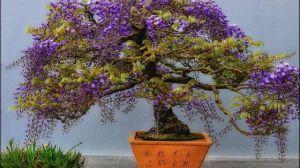 怎样使盆栽紫藤连年开花