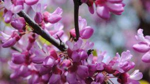 紫藤的繁殖方式有哪些