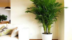 散尾葵有什么作用