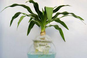文殊兰水培方法