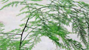 文竹的简易扦插繁殖方法