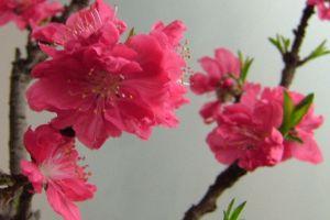 桃花的病害防治