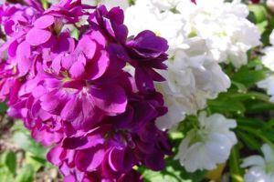 紫罗兰的病害防治