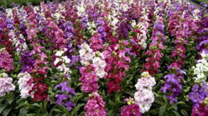紫罗兰有哪些种类