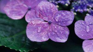 紫罗兰种子怎么种