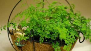 铁线蕨繁殖方法