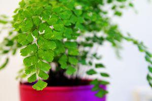 铁线蕨常见病虫害及防治方法