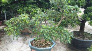 清香木有哪些作用