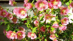 盆栽小木槿的养护方法