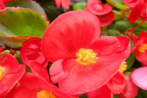 四季海棠常见的品种有哪些