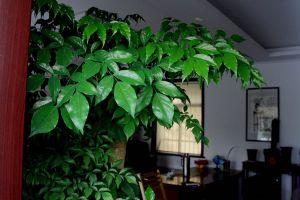 室内养平安树的好处