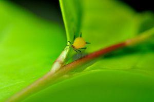蒲包花生蚜虫怎么办