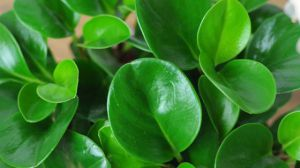 豆瓣绿的养殖方法
