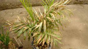 袖珍椰子叶子发黄怎么办