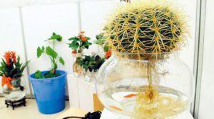 水培仙人球的方法