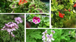 天竺葵有哪些品种
