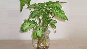 合果芋 | 适合客厅养的水养植物