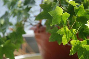常春藤常见病害及防治