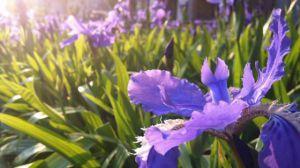 鸢尾花的花语和象征