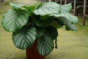 观叶植物的养护要点