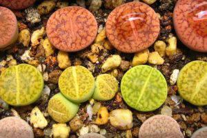 生石花养殖方法和注意事项
