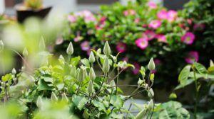 铁线莲的冬季养护方法