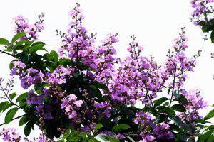 古代诗人笔下唯美的紫薇花