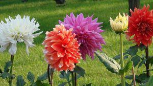 大丽花的种植方法