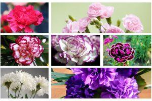 康乃馨各色花语及象征意义