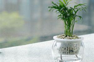 袖珍椰子的水培方法