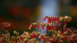 宫灯长寿花的养殖方法和注意事项