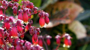 宫灯长寿花怎么浇水
