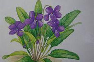"""不开花就结种的""""紫花地丁"""""""