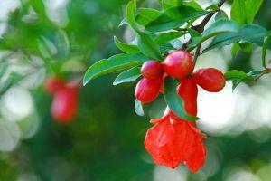 石榴花的花语及传说