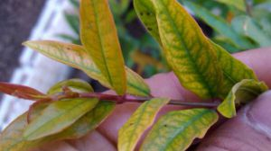 石榴花叶子为啥发黄