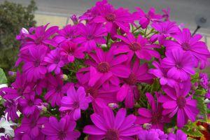 瓜叶菊的家庭养护方法